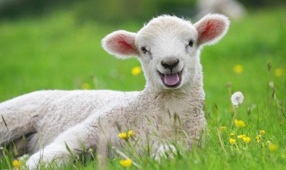 Por que Jesus nos compara com ovelhas?