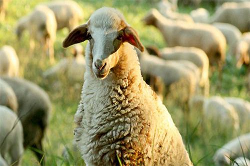 E as ovelhas